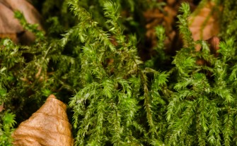 Possibly Schreber's Big Red Stem Moss (Pleurozium schreberi)