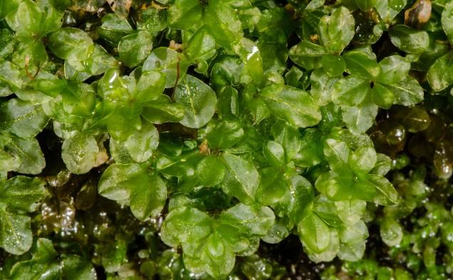 Possibly red Penny Moss (Rhizomnium appalachianum)