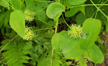 Carrion Flower (Smilax herbacea)