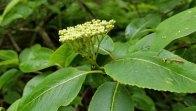 Wild Raisin (Viburnum nudum var. cassinoides) Peduncle