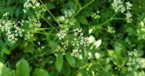 American Lovage (Ligusticum canadense)