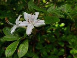 Clammy Azalea (Rhododendron viscosum)