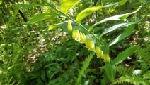 Great Solomon's Seal (Polygonatum biflorum v. commutatum)