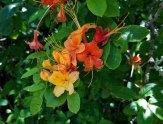 Muticolor Flame Azalea (Rhododendron calendulaceum)