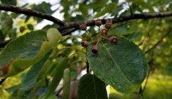 Serviceberry (Amelanchier arborea) Berries