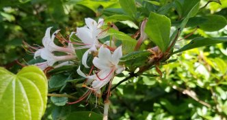 Smooth Azalea (Rhododendron arborescens)