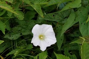 Hedge Bindweed (Calystegia sepium)
