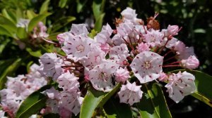 Mountain Laurel (Kalmia latifolia)