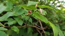 Southern Mountain Cranberry (Vaccinium erythrocarpum)