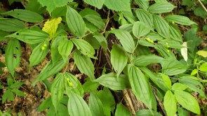 Yellow Mandarin; Fairy Bells (Prosartes lanuginosa) Fruit
