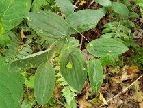 Perfoliate Bellwort (Uvularia perfoliata) Fruit