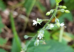 Dwarf Enchanter's Nightshade (Circaea alpina)