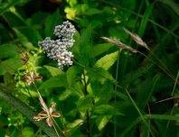 Yarrow (Achillea millefolium*)