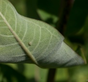 Hopefully a Monarch Butterfly Egg