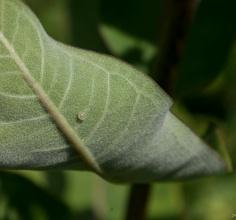 Hopefully a Monarch Butterfly Egg
