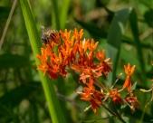 Bee Weed