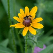 Black-eyed Susan (Rudbeckia hirta) and Friend
