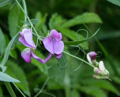 Probably Sweetpea (Lathyrus odoratus)