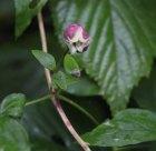 Leatherflower (Clematis viorna)