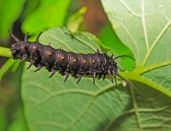 Pipevine Swallowtail Caterpillar (Battus philenor)
