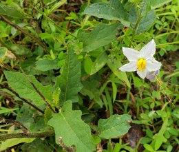 Horse Nettle (Solanum carolinense)