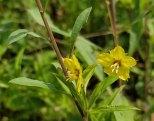 Lance-leaf Loosestrife (Lysimachia lanceolata)