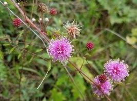 Sensitive Brier (Mimosa microphylla)