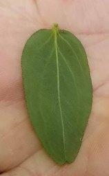 Shrubby St. John's-wort (Hypericum prolificum) Leaf