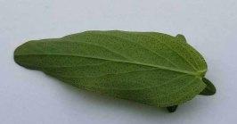 Spotted St. John's-wort (Hypericum punctatum) Leaf
