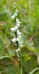 Slender Ladies' Tresses (Spiranthes lacera)