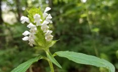 White Heal All (Prunella vulgaris)