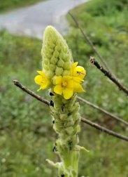 Woolly Mullein (Verbascum thapsus*)