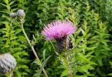 Bee on a Thistle (Cirsium sp.)