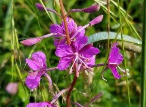 Fireweed (Chamerion angustifolium ssp. Angustifolium)