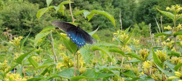Pipevine Butterfly