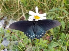 Pipevine Butterfly on an Ox-eye Daisy