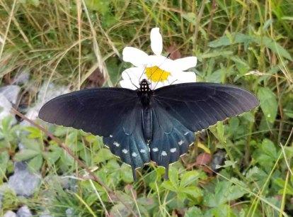 Pipevine Butterfly on an Ox-eye Daisy