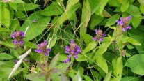 Ring of Heal All (Prunella vulgaris)