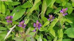Ring of Heal All (Prunella vulgaris)