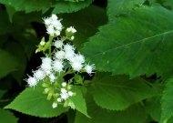 White Snakeroot (Ageratina altissima)