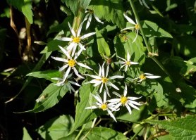 White Wood Aster (White Wood Aster)