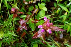 Heal All (Prunella vulgaris)