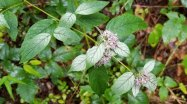 Hoary Mountain Mint (Pycnanthemum incanum)