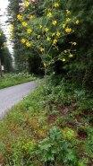 Kidney-leaf Rosinweed (Silphium compositum)