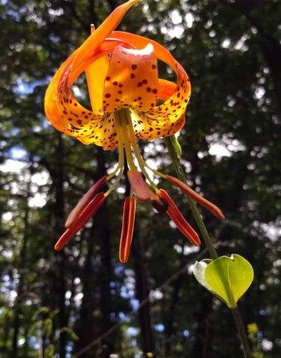 Carolina Lily (Lilium michauxii)