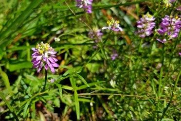 Polygala curtissii (Curtiss' Milkwort; Candyroot)