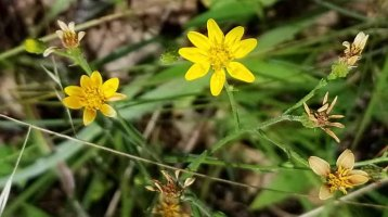 Grass-leaved Golden Aster (Pityopsis graminifolia)