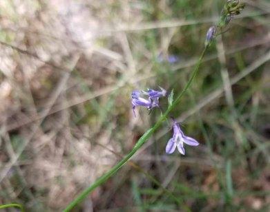 Nuttall's Lobelia (Lobelia nuttallii)