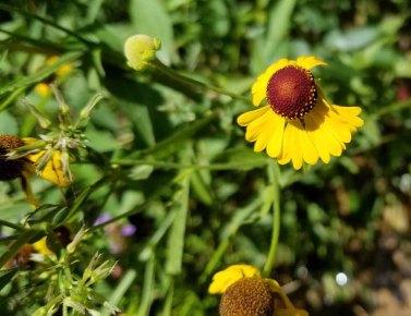 Purple-headed Sneezeweed (Helenium flexuosum)