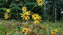 Rough Sunflower (Helianthus hirsutus)